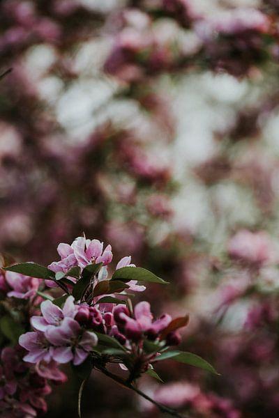 Rosa Frühlingsblüte | Arnheim, Holland von Trix Leeflang