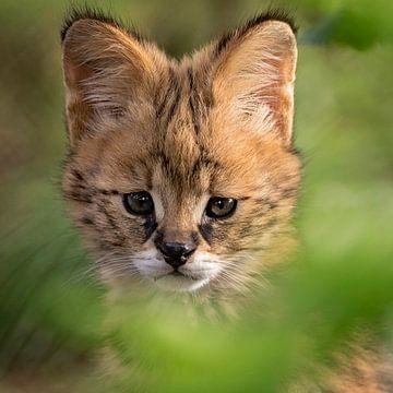 Serval kitten von gea strucks
