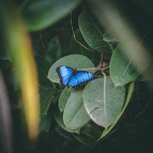 Blauwe vlinder Morpho peleides BLAUWE MORPHO van Rick Wiersma