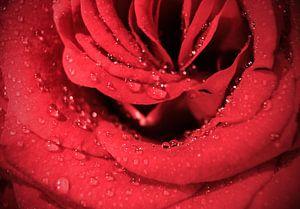 Rode roos met dauwdruppels