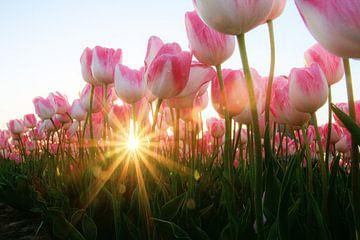 Tulpen van Hanneke de Vries-Koning