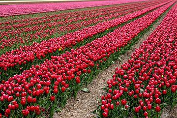 Tulpen in bloei op een akker in Noord Holland van Studio de Waay
