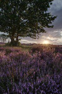 Heide in bloei van Sander Knopper