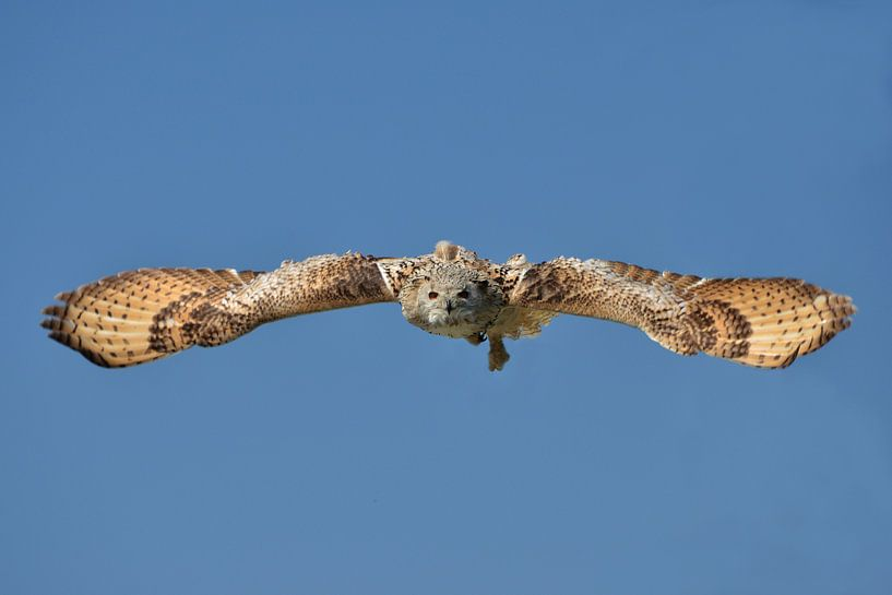 Vliegende uil. van Frank de Ridder