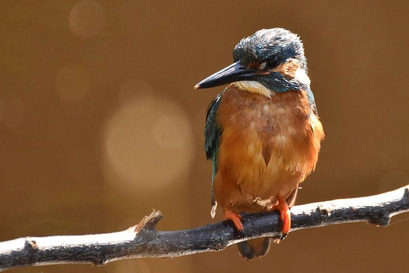 IJsvogel op tak, oranje achtergrond met bokeh van Sascha van Dam