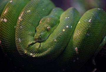 Groene boom python von Ron Meijer