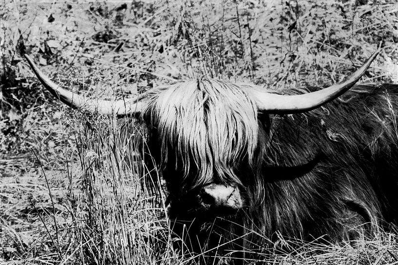 Scottish Highland Cattle van Dirk Wüstenhagen