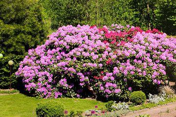 lilaner Rhododendron von Pfotowelt