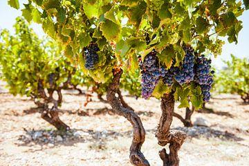 Wijnrank in Frankrijk van Nick van Dijk