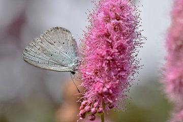Vlinder op roze bloem van Kim de Been