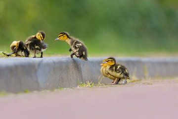 jumping duckling von Remco Van Daalen