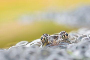 Bruine kikker van Douwe Schut