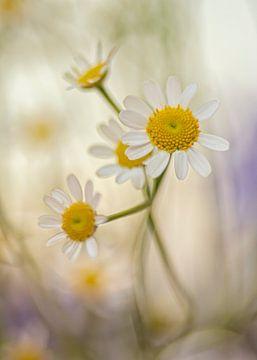 Zusammensetzung von Gänseblümchen von Ellen Driesse
