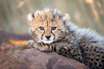 Tapferes Gepardenjunges von Jos van Bommel