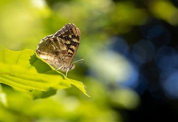 Gefleckter Flussuferläufer-Schmetterling in einem Dunst aus Blau und Grün von Annika Westgeest Photography