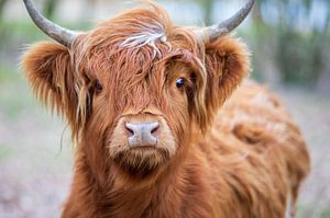 Porträt Schottischer Highlander von Ton Tolboom