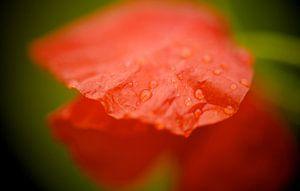 Klaproos in de regen