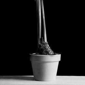 Amaryllis van Ton van Buuren