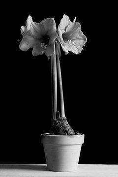 Amaryllis von Ton van Buuren