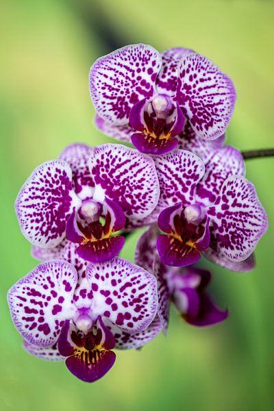 orchidee van Steffen Gierok