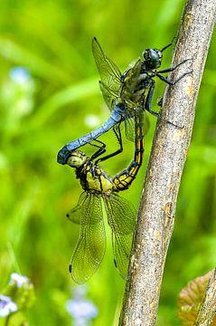 Libellen in paringswiel. Gewone oeverlibel, Orthetrum cancellatum van Martin Stevens