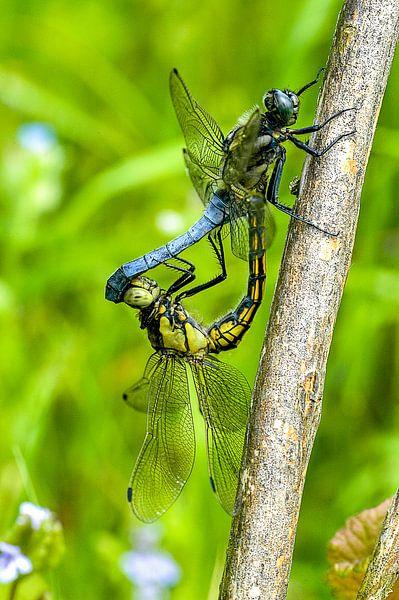 Libellen in paringswiel. Gewone oeverlibel, Orthetrum cancellatum