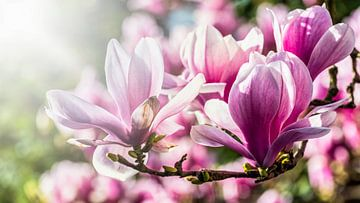 Blüte der Magnolie im Gegenlicht von Dieter Walther