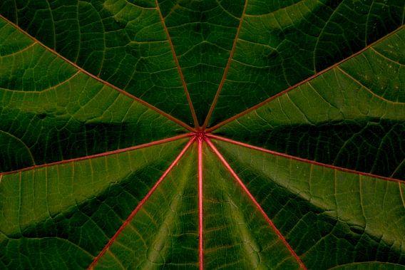 The Beautiful Venation of the Castor Bean Leaf