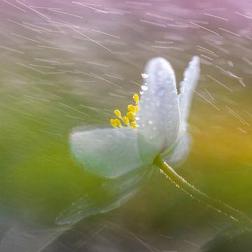Bosanemoon in de lenteregen van Karin de Jonge