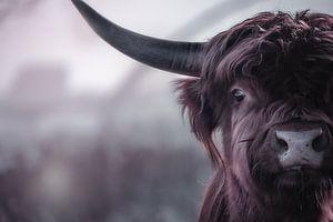 Schotse hooglander van bart dirksen