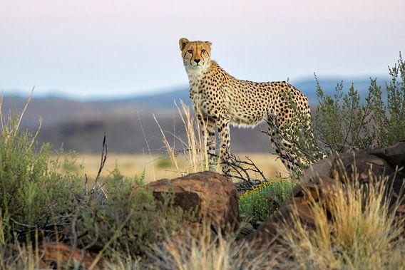 Jonge Cheetah (Acinonyx jubatus) staand op een rots op de uitkijk