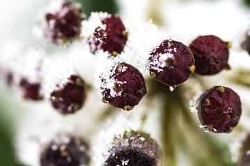 Snow berries von Ramon Bovenlander