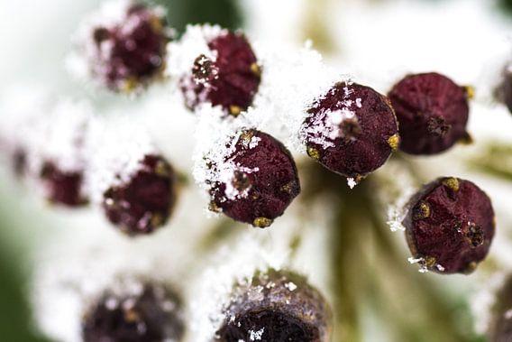 Snow berries van Ramon Bovenlander