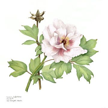 Pioenroos, Paeonia suffruticosa van Ria Trompert- Nauta