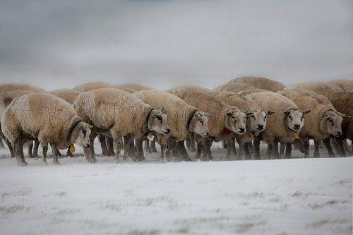Schapen in Zeeland tijdens sneeuwstorm