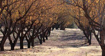 Mandelbäume in Reihen von Jan Katuin