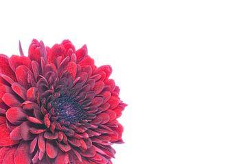Chrysantheme mit weißem Hintergrund von Carola Schellekens