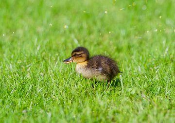 Süßes Entenbaby von Wendy Tellier - Vastenhouw