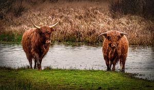 Schotse hooglander met kalf lopend uit het water