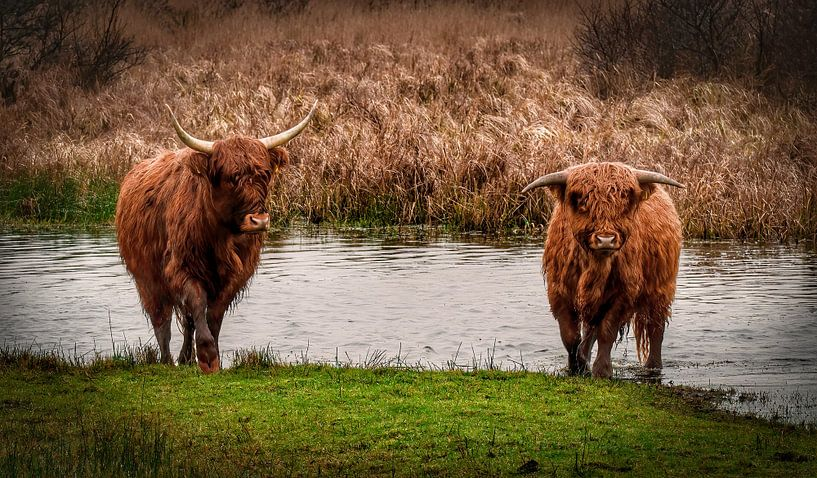 Schotse hooglander met kalf lopend uit het water van Marjolein van Middelkoop
