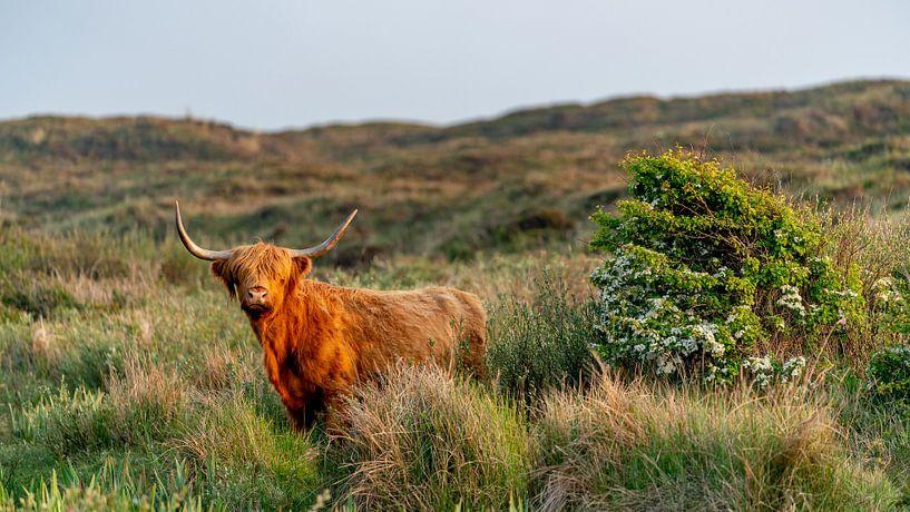Schotse Hooglander bollenkamer Texel 16/9 van Texel360Fotografie Richard Heerschap