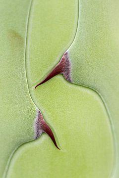 agave von Menno Janzen