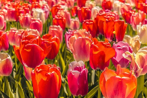 Veld vol gekleurde tulpen