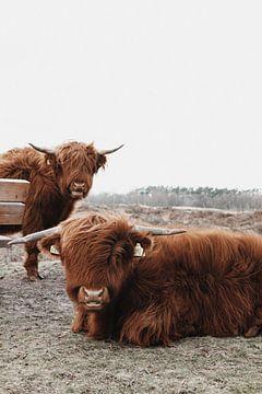 Schotse Hooglanders in Gasteren Drenthe van Laura Weemering