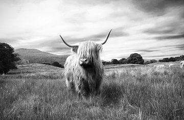 Highlander – Schottisches Hochlandrind von Marly Tijhaar
