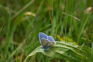 Das schöne Blau des Ikarusblauen Schmetterlings von J..M de Jong-Jansen
