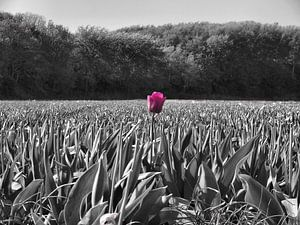 Tulp in een veld