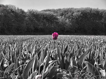 Tulp in een veld van Dave van den Heuvel