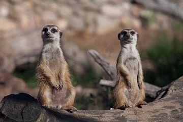 Twee stokstaartjes houden je in de gaten. Schattige Afrikaanse dieren stokstaartjes (Timon) kijken a van Michael Semenov