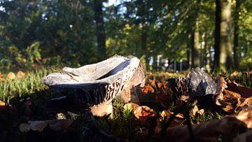 Een paddenstoel in de natuur van Wilbert Van Veldhuizen